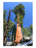 Sequoia National Park II Art