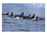 Killer Whale Group in the Wild Prints