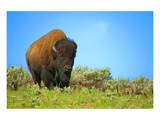 Wild bison buffalo Yellowstone Posters