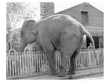 Elephant crossing Picket Fence Posters