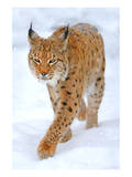Beautiful Wild Lynx In Winter Prints