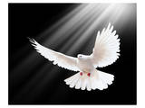 A Free Flying White Peace Dove Prints