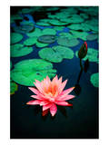 Pink Waterlily Affiches