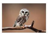 A Curious Saw-Whet Owl Obrazy
