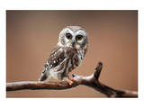 A Curious Saw-Whet Owl Prints