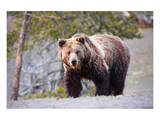 Grizzly Bear Yellowstone Park Posters