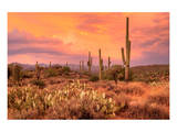 Saguaros in Sonoran Desert Prints