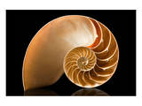 Fibonacci Pattern in a Shell Poster