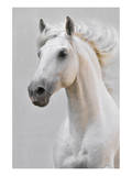 White Horse Stallion Prints