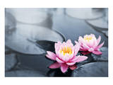 Pink Lotus Blossoms in Pond Art