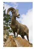 Bighorn Sheep Ram In Banff Prints