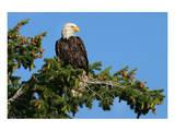 Majestic Bald Eagle Kunstdrucke