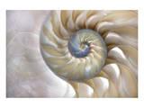 Fibonacci Pattern in Shell Posters