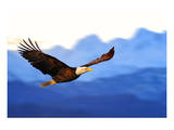 American Bald Eagle Alaska Prints
