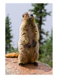 Hoary Marmot Posters