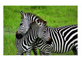 Zebras on Grassland in Zambia Prints