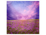 Pink Sunset in Flower Field Prints
