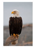Bald Eagle Resting On A Perch Prints