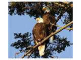 A Pair of perching Bald Eagles Poster