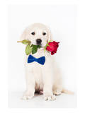Golden Retriever Puppy & Rose Posters