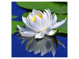 White Lily & Green Pond Leaves Poster