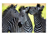 Wild Zebra Socialising-Africa Posters