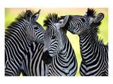 Wild Zebra Socialising-Africa Plakaty