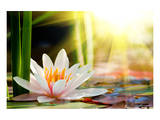 Lotus Flower Background Poster
