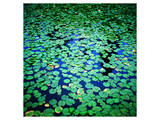 Lily Pads Pond Surface Print