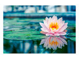 Pink Lotus with Reflection Prints