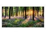 Purple Bluebell Woods Sunrise Posters