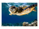 Hawksbill Sea Turtle-Maldives Prints
