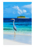 Grey Heron on Maldives Beach Posters