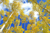 Autumn Foliage: Aspen Trees in Fall Colors Photographic Print by robert cicchetti