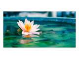 Beautiful Lotus Flower In Pond Prints