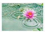 Lotus Flower in Pond Rain Drop Posters