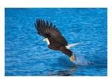 Bald Eagle Fish Talons Alaska Prints