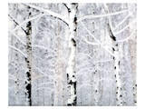 Birch Forest Winter Prints by Parker Greenfield