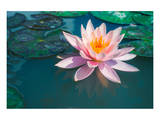 Pink Lotus Flower in Pond Poster