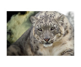 Snow Leopard Photographic Print by Christine Sponchia