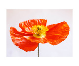 Poppy Bloom Photographic Print by Jodi Orr