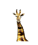 Giraffe Photographic Print by Nick Keating