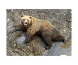 Grizzly Mud Bath Photographic Print by Glenn Aker