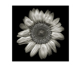 Sunflower Photographic Print by Keith Skelton