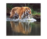 Wading Tiger Photographic Print by Glenn Aker