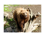 Kodiak Bear Photographic Print by Glenn Aker