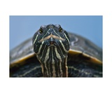 Turtle Photographic Print by Christine Sponchia
