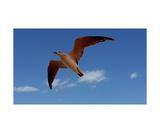 Seagull Photographic Print by Glenn Aker