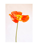 Poppy Stem Photographic Print by Jodi Orr