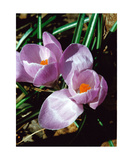 Double Lavender Crocus Photographic Print by Glenn Aker